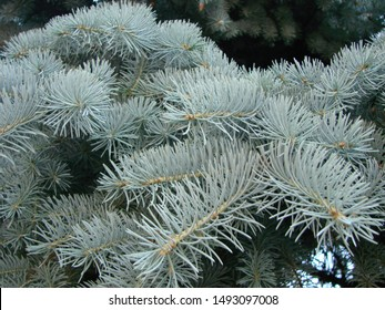 Branches of blue spruce on sky background, close-up macro