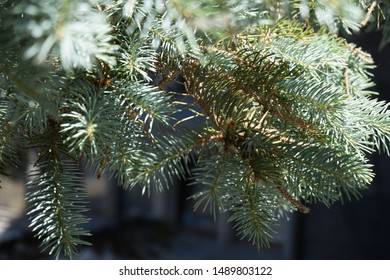 branches of blue spruce in the Park