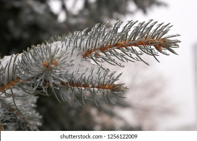 The branches of blue spruce or pine. Needles are covered with frost and water droplets. Christmas background.