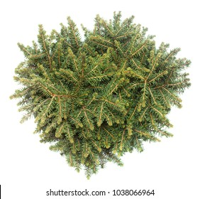 Branches and bush. Spruce Picea Omorika Karel isolated on white background. Conifers. Christmas tree. New Year. Flat lay, top view