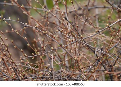 The branches of the bushes begin to germinate in the spring. The thorns have a large number of thorny leaves, which grow in desert arid areas and are plants that protect and green the desert.
