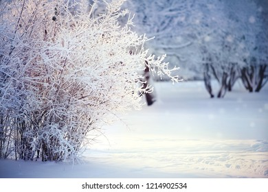 Branches of bushes in hoarfrost and snow in the winter, are lit with the sun.
