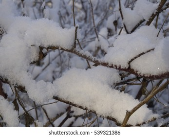 The branches of bushes in the snow.