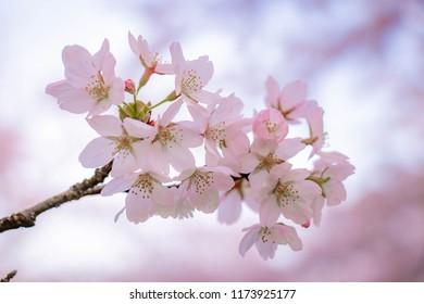 Branches of Cherry Blossom (Sakura) at Amsterdam's Forest, Amstelveen, Netherlands.
