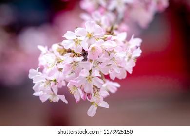 Branches of Cherry Blossom (Sakura) at Amsterdamse Bos, Amstelveen, Netherlands.