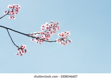 branches of cherry blossom tree with sky background