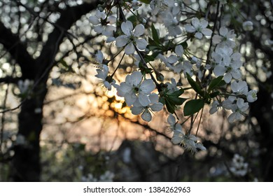 Branches of cherry blossoms at sunset