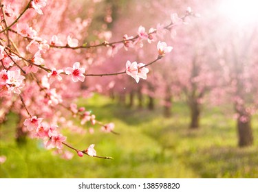 Branches of cherry tree in blossom