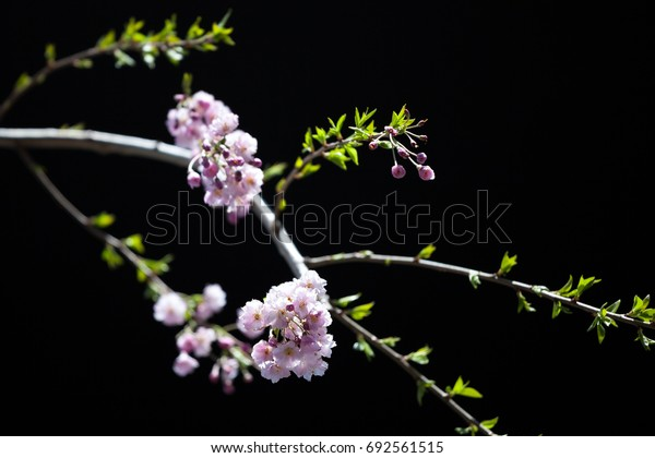 Branches of a cherry tree during the cherry blossoms season in Japan, with a black background.