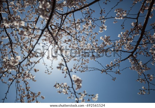 Branches of a cherry tree during the cherry blossoms season in Japan, with a sunny blue sky as background.