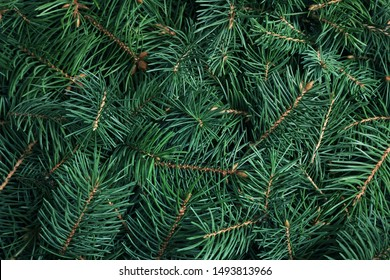 Branches of Christmas tree as background, closeup
