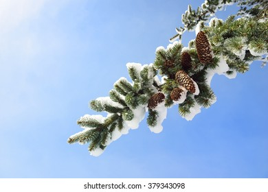 branches of a Christmas tree covered with snow and cones natural spruce winter background