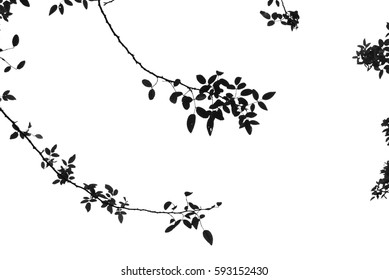 Branches of Climbing Rose with white background