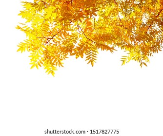 Branches with  colorful autumn leaves  isolated on white background.  Japanese pagoda tree