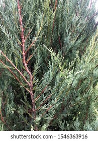 Branches of coniferous plants. nature background. Thuja occidentalis, evergreen coniferous tree, thuya. Сonifer plant for the garden. Glaucous-green juniper