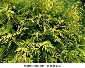 Branches of coniferous plants. nature background. Thuja occidentalis, evergreen coniferous tree, thuya. Сonifer plant for the garden. Yellow-green juniper