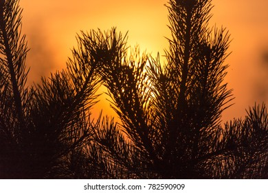 Branches of a coniferous tree at sunset