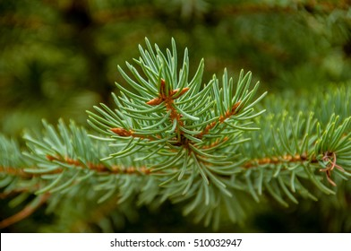 branches of conifers