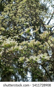 Branches of Cornus kousa florida tree, flowering dogwood with white and yellow flowers