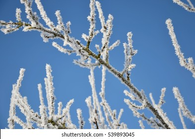Branches covered in hoarfrost on a cold and sunny day.