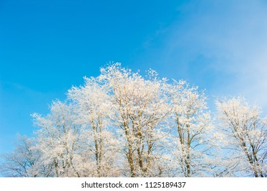 Branches covered with snow at winter