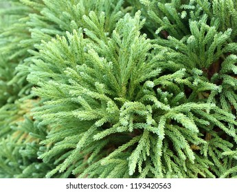 branches of cryptomeria japonica,