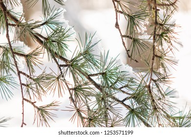 Branches of an evergreen tree covered with snow and ice