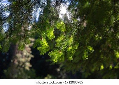 Branches of a fir tree lit by the sun