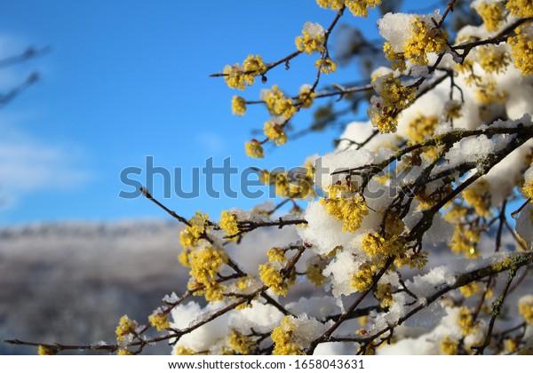 branches-flower-petals-cornel-plant-600w
