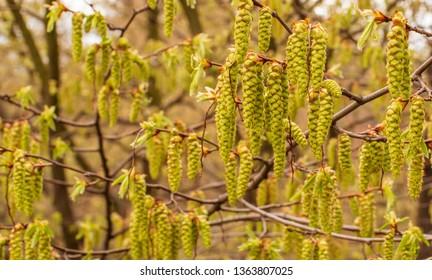 Branches of flowering hornbeam