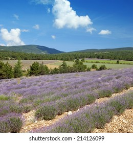 branches of flowering lavender at the beginning of flowering
