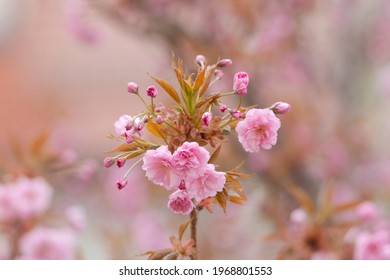 branches of flowering ornamental cische with pink ornamental cherry flowers