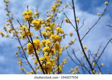 branches with flowers of European Cornel (Cornus mas) in early spring. Cornelian cherry, European cornel or Cornelian cherry dogwood (Cornus mas) flovering. Early spring flowers in natural habitat