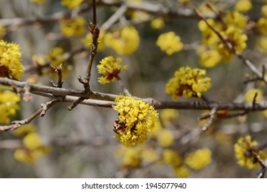 branches with flowers of European Cornel (Cornus mas) in early spring. Cornelian cherry, European cornel or Cornelian cherry dogwood (Cornus mas) flovering. Early spring flowers in natural habitat - Shutterstock ID 1945077940
