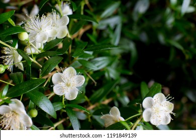 Branches with flowers of Myrtle (Myrtus communis) close-up