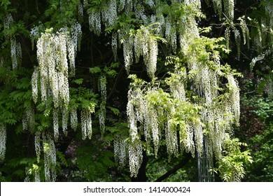 Branches with flowers of White Acacia tree, (Robinia Pseudoacacia).
