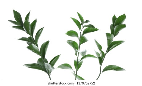 Branches with fresh green Ruscus leaves on white background