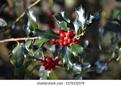 Branches with fruits of Ilex aquifolium, Christmas holly. It is an evergreen tree or shrub in the family Aquifoliaceae.