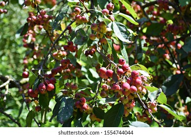 Branches with fruits of Malus Perpetu Evereste. It is a small deciduous tree, an ornamental cultivar of crabapple.