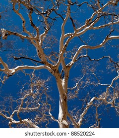 Branches of an Ghost Gum tree in the Australian Outback