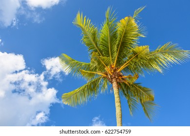 Branches of the green coconut palm tree in the blue sunny sky on the background at tropical coast, summertime.