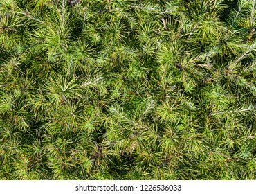 Branches of green conifer close up. Forest background. Natural template or mock up