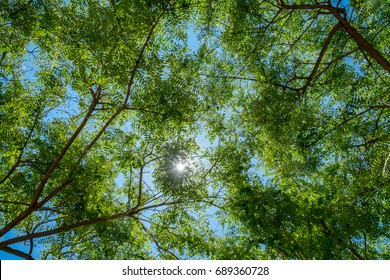 Branches with green leafs against sunny blue sky, seen from bellow.