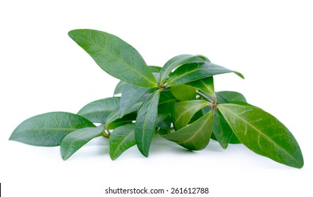 Branches with green leaves creeping Myrtle / Periwinkle isolated on white background