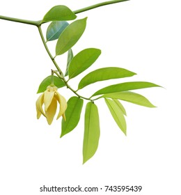 Branches with Green Leaves and Yellow Flower of Ylang-ylang, Perfume Tree, Cananga odorata Isolated on White Background