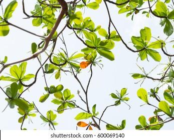 Almond Tree Clip Art