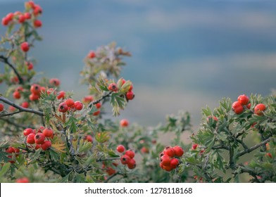 Branches of hawthorn bushes, red hawthorn berries crataegus wild fruit in october.
