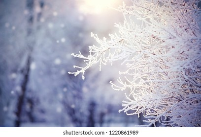Branches in hoarfrost and snow in the winter, are lit with the sun.