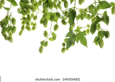 Branches of hop isolated on white background