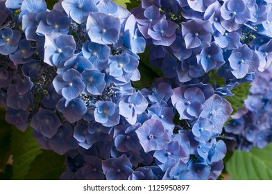 branches of hydrangeas with blue flowers